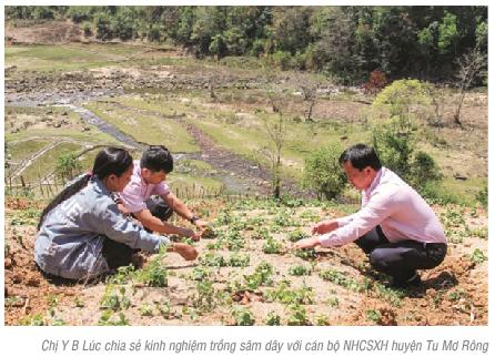 Thoát nghèo từ trồng cây sâm quý